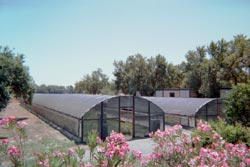 four season greenhouses filled with milkweed - A. curassavica