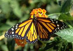 live monarch butterflies for release
